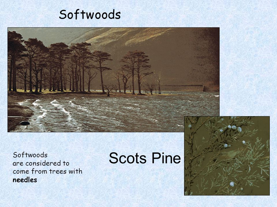 Softwoods Scots Pine Softwoods are considered to come from trees with needles