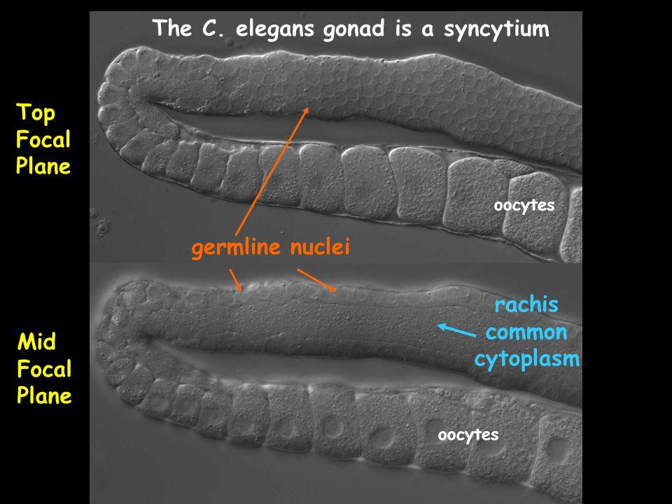 rachis common cytoplasm