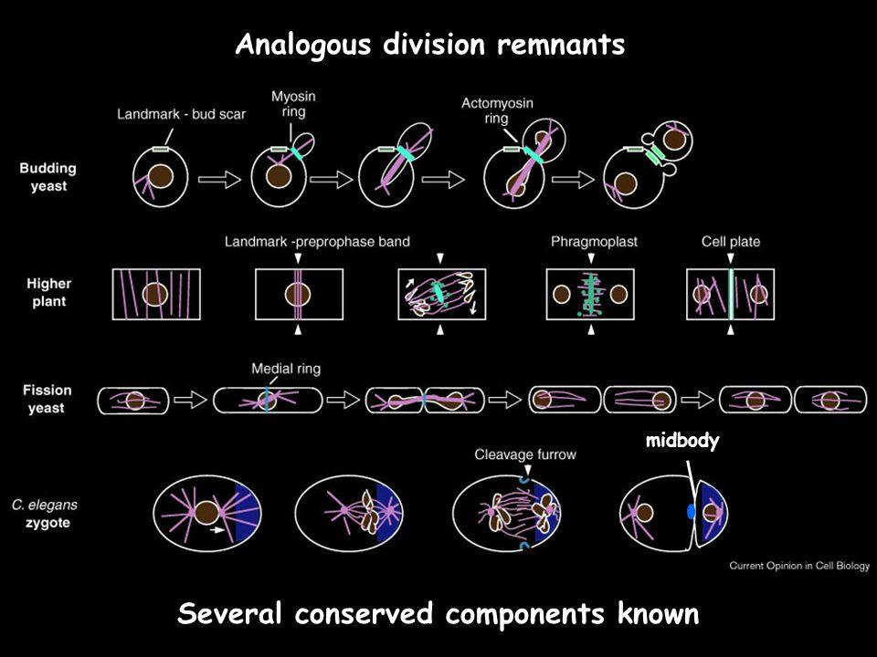 Analogous division remnants