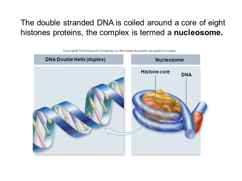 The double stranded DNA is coiled around a core of eight histones proteins, the complex is termed a nucleosome.