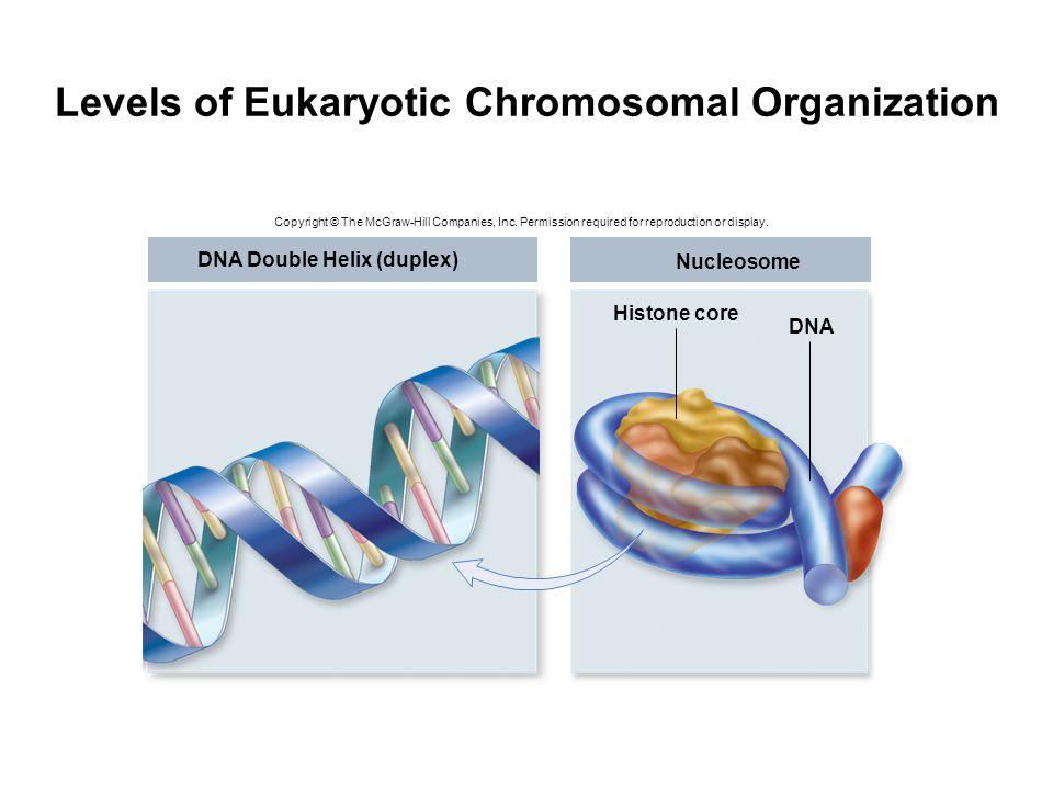 Levels of Eukaryotic Chromosomal Organization