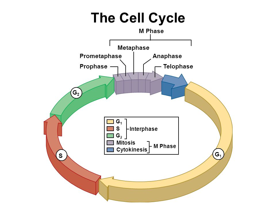 The Cell Cycle M Phase Metaphase Prometaphase Anaphase Prophase