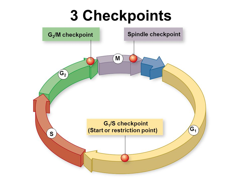 3 Checkpoints G2/M checkpoint Spindle checkpoint M G2 G1/S checkpoint