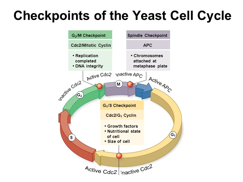 Checkpoints of the Yeast Cell Cycle