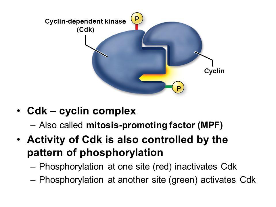 Cyclin-dependent kinase