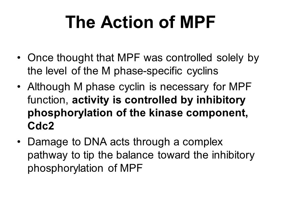 The Action of MPF Once thought that MPF was controlled solely by the level of the M phase-specific cyclins.