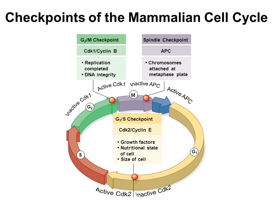 Checkpoints of the Mammalian Cell Cycle