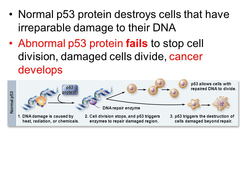 Normal p53 protein destroys cells that have irreparable damage to their DNA