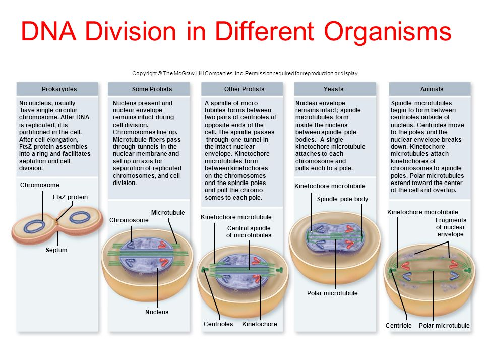 DNA Division in Different Organisms