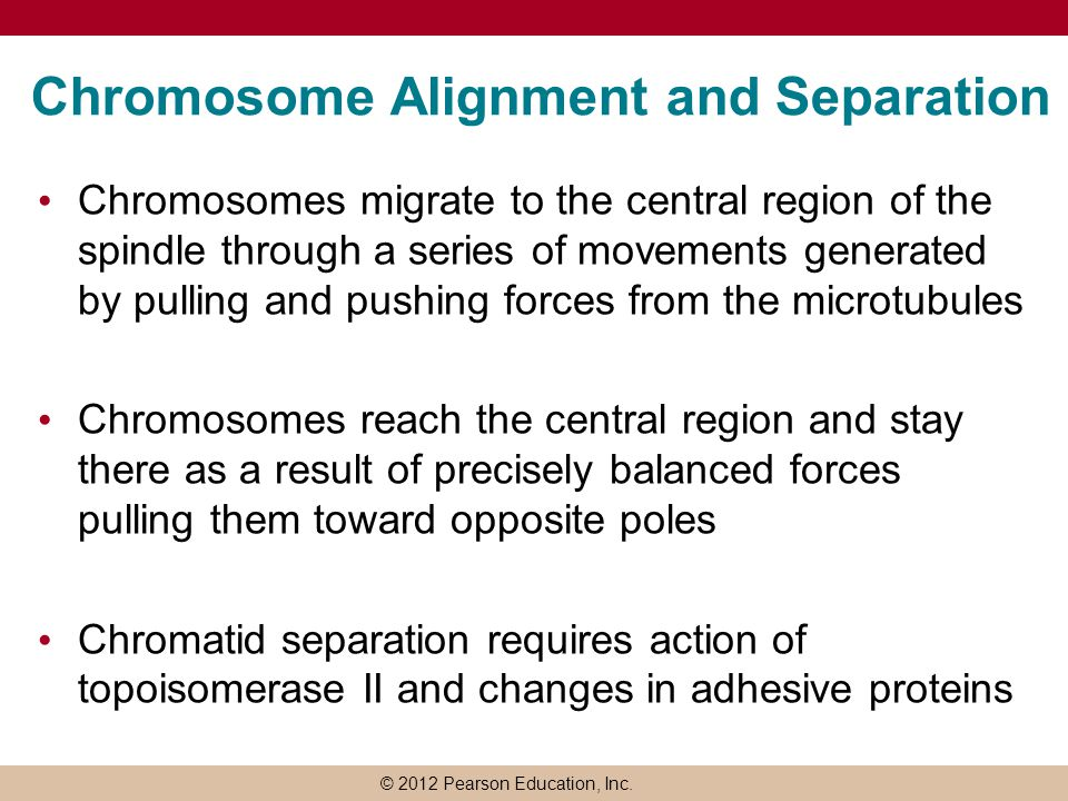 Chromosome Alignment and Separation