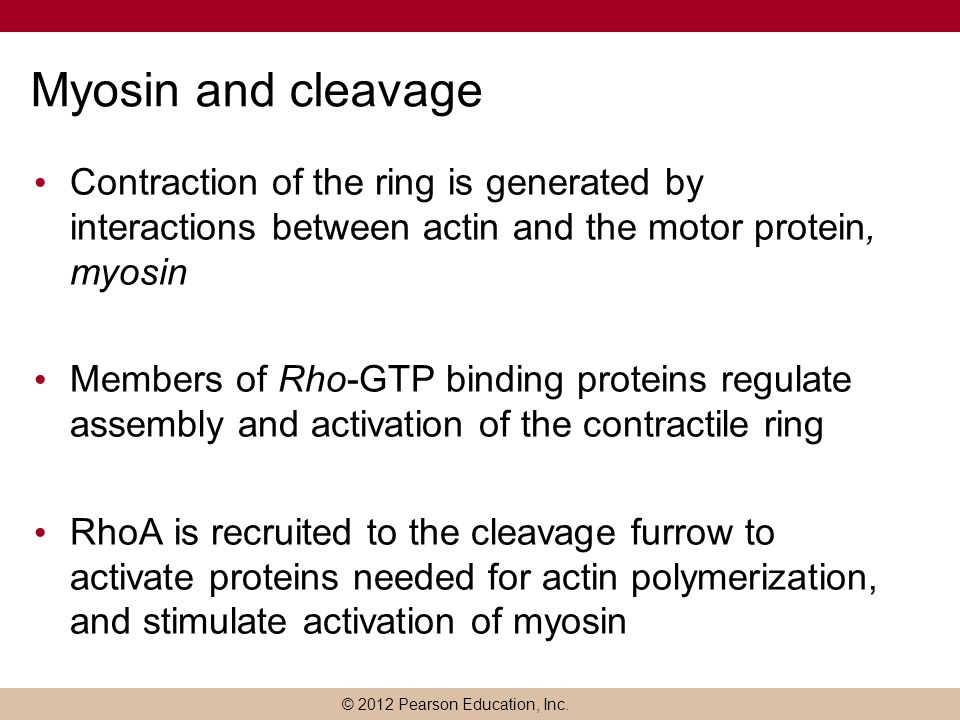 Myosin and cleavage Contraction of the ring is generated by interactions between actin and the motor protein, myosin.