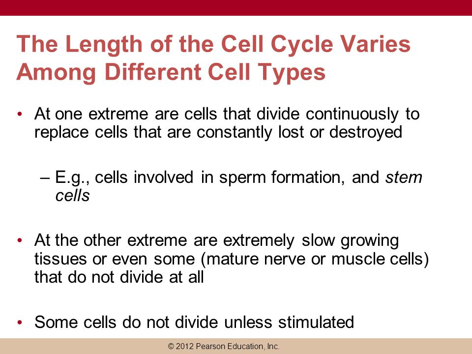 The Length of the Cell Cycle Varies Among Different Cell Types