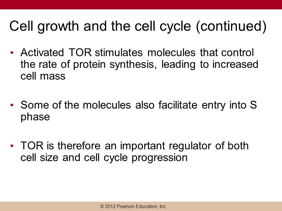 Cell growth and the cell cycle (continued)