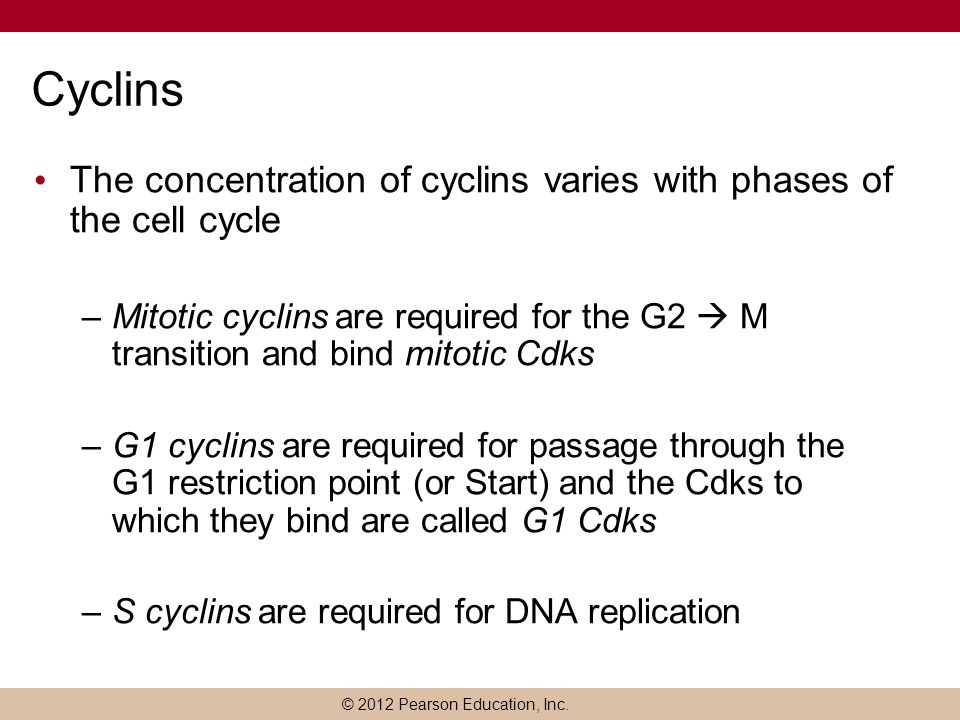 Cyclins The concentration of cyclins varies with phases of the cell cycle.