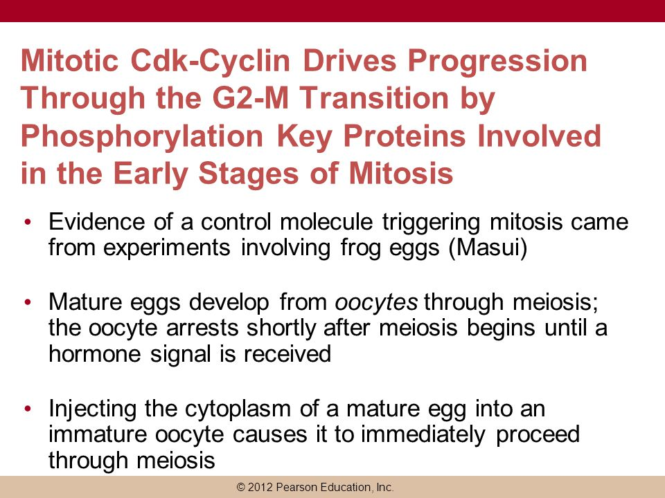 Mitotic Cdk-Cyclin Drives Progression Through the G2-M Transition by Phosphorylation Key Proteins Involved in the Early Stages of Mitosis