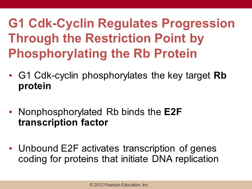 G1 Cdk-Cyclin Regulates Progression Through the Restriction Point by Phosphorylating the Rb Protein
