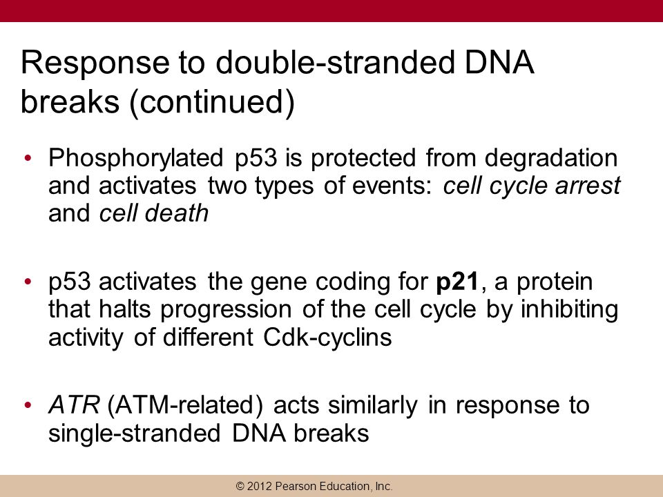 Response to double-stranded DNA breaks (continued)