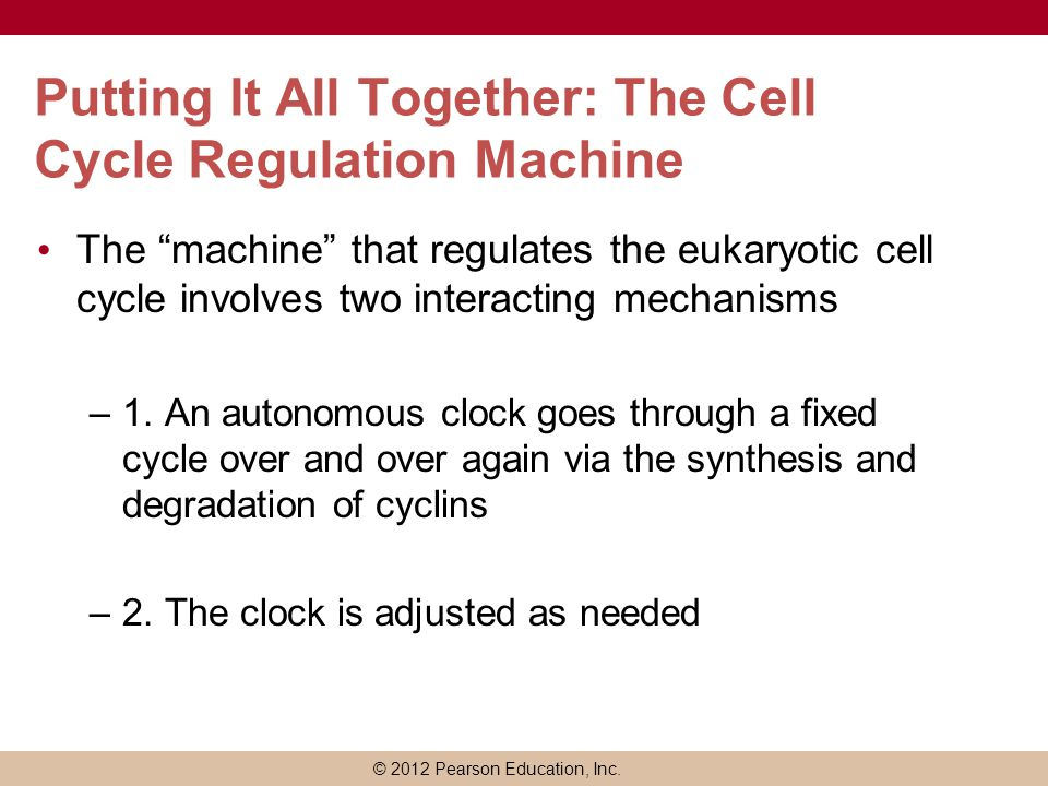 Putting It All Together: The Cell Cycle Regulation Machine