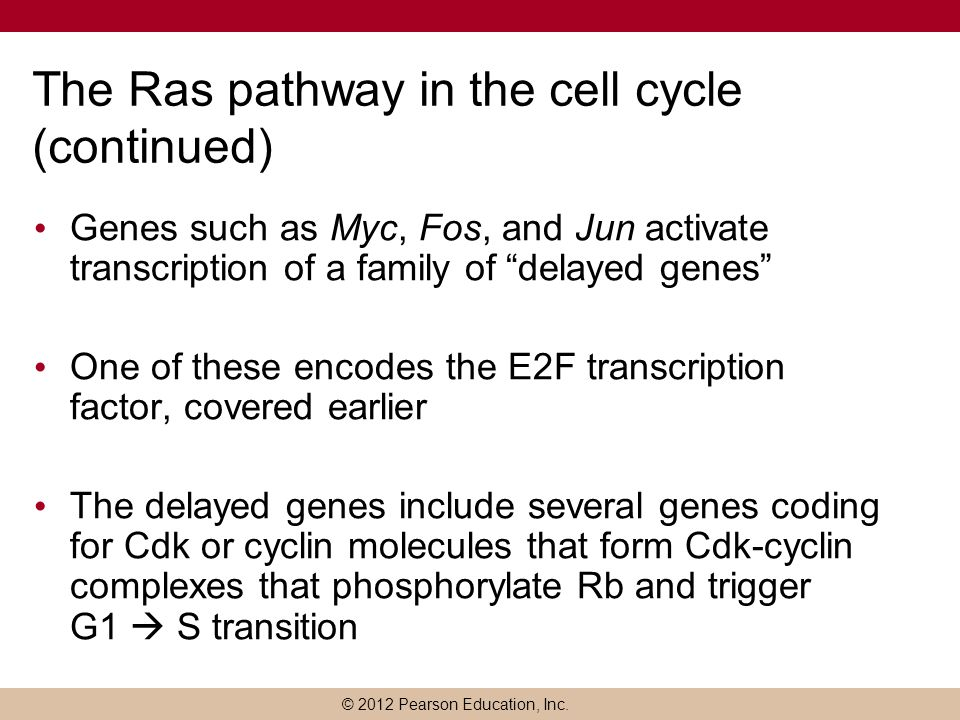 The Ras pathway in the cell cycle (continued)
