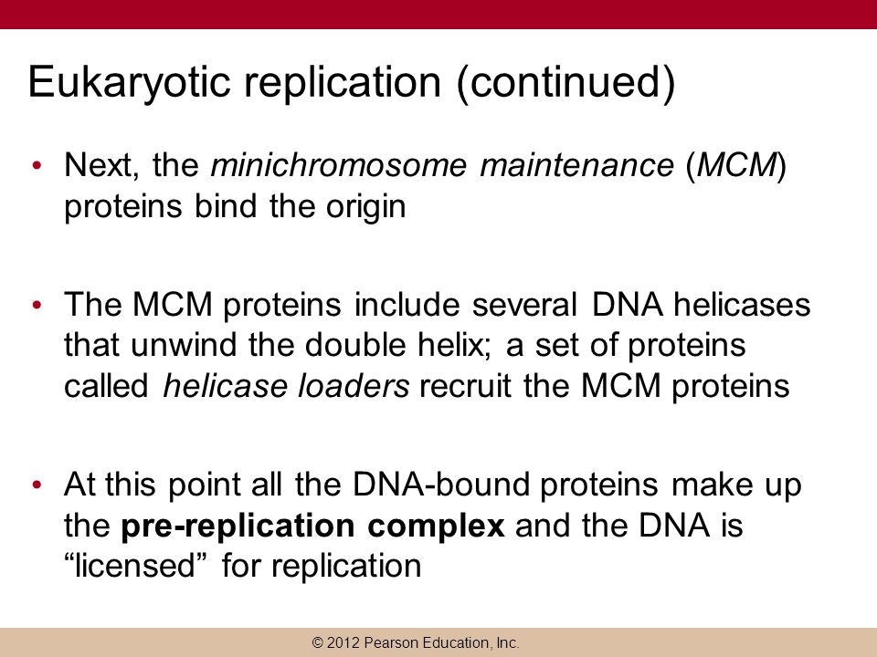 Eukaryotic replication (continued)