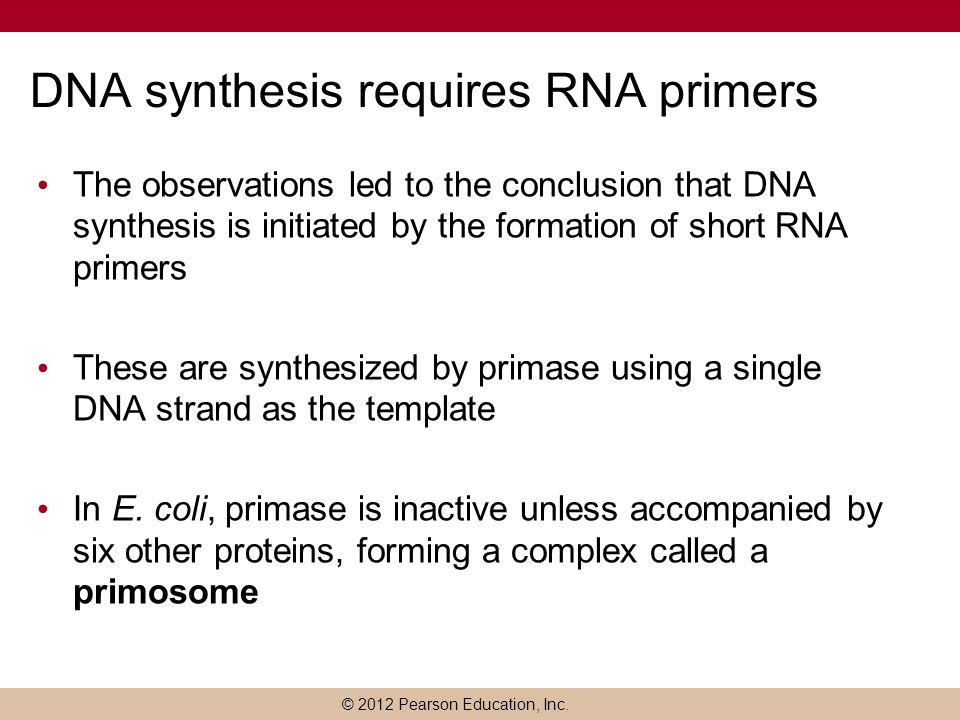 DNA synthesis requires RNA primers