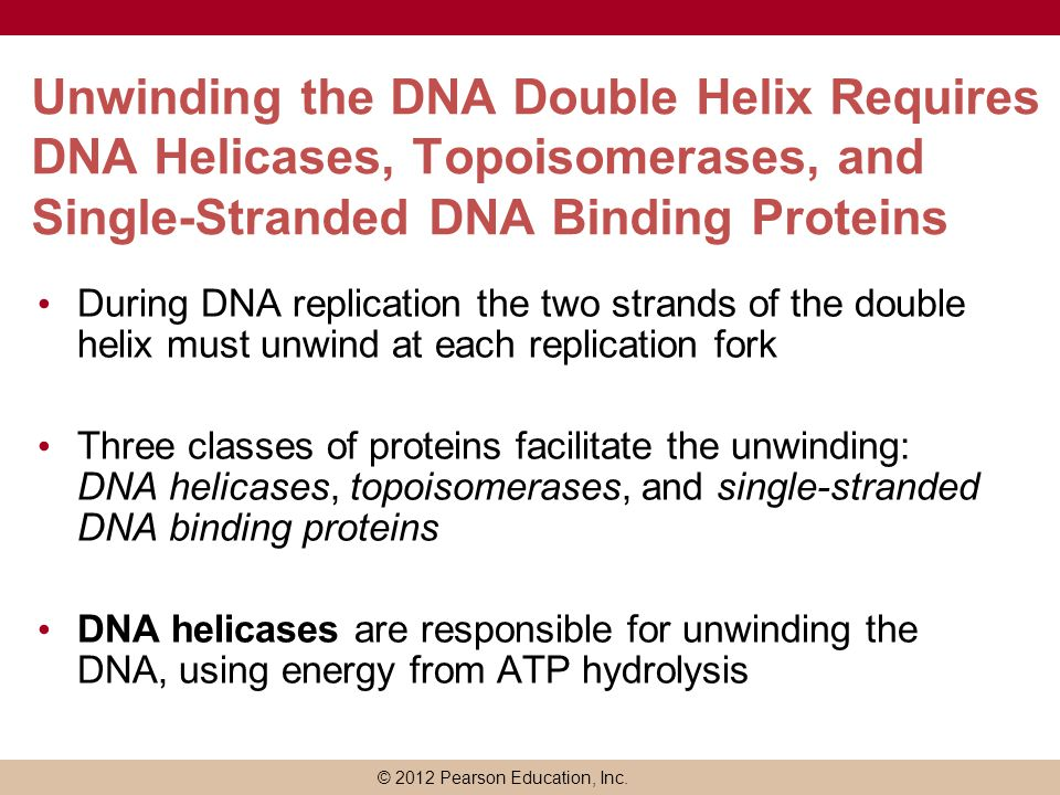 Unwinding the DNA Double Helix Requires DNA Helicases, Topoisomerases, and Single-Stranded DNA Binding Proteins