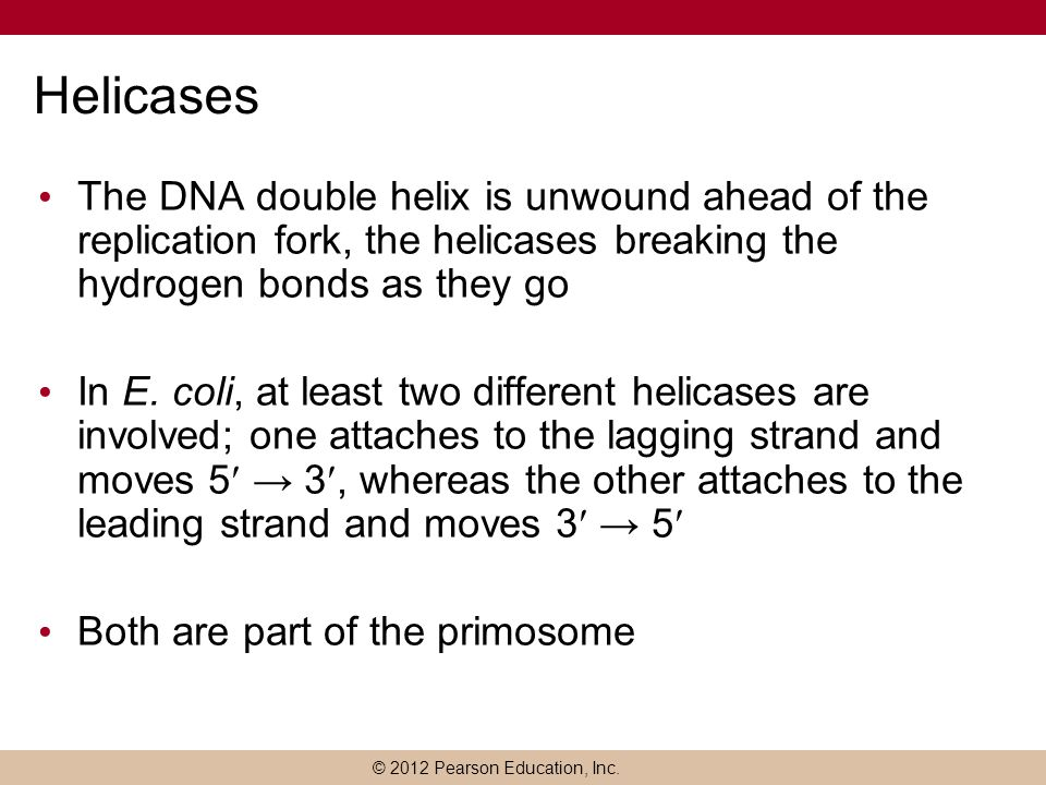 Helicases The DNA double helix is unwound ahead of the replication fork, the helicases breaking the hydrogen bonds as they go.