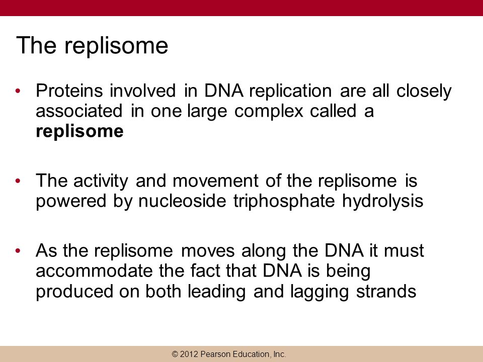 The replisome Proteins involved in DNA replication are all closely associated in one large complex called a replisome.