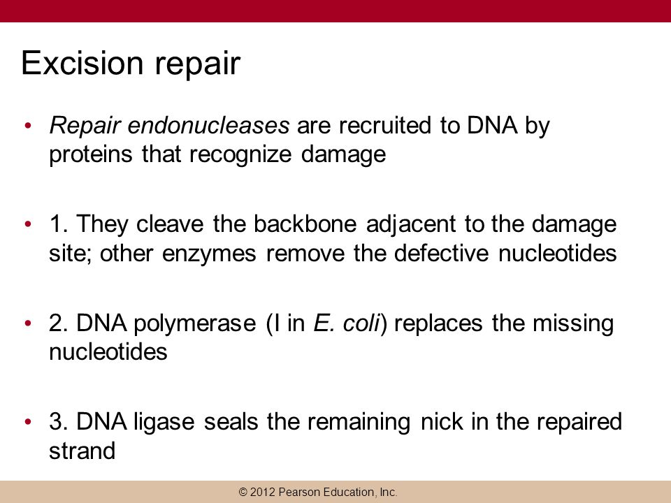 Excision repair Repair endonucleases are recruited to DNA by proteins that recognize damage.