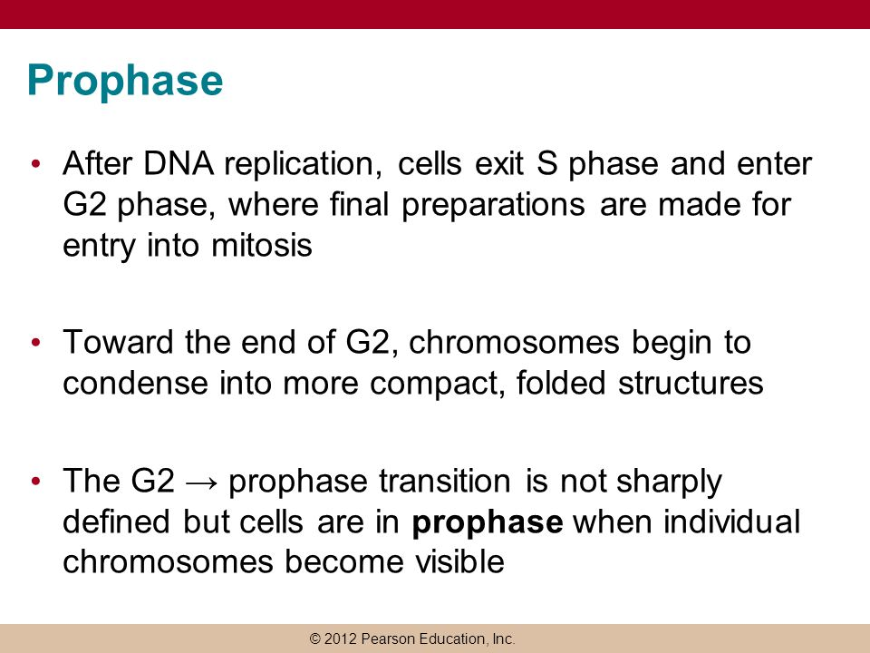 Prophase After DNA replication, cells exit S phase and enter G2 phase, where final preparations are made for entry into mitosis.
