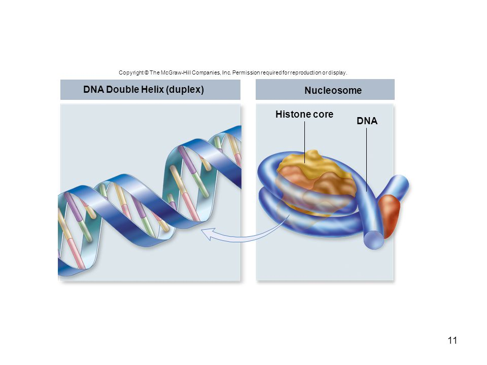 DNA Double Helix (duplex) Nucleosome