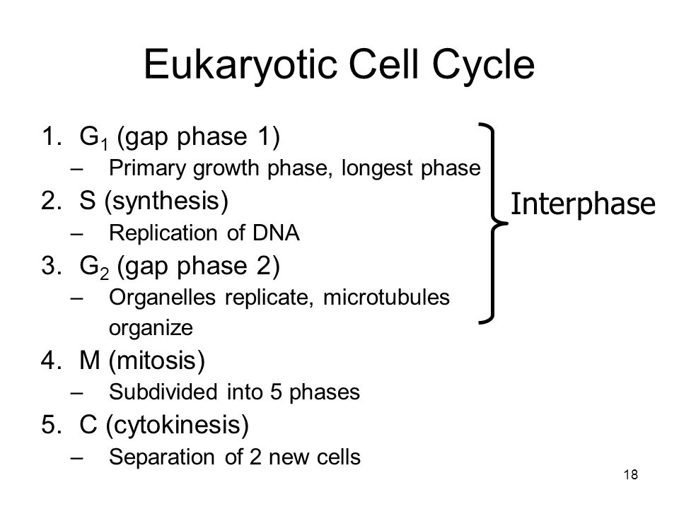 Eukaryotic Cell Cycle Interphase G1 (gap phase 1) S (synthesis)