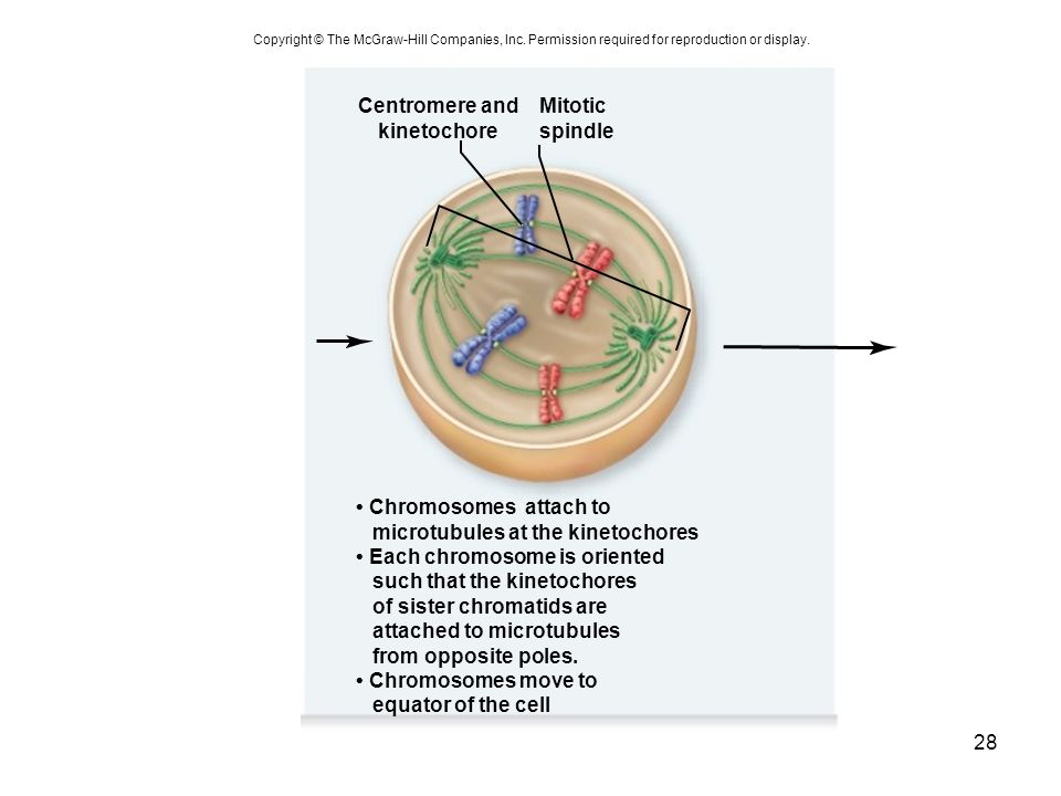 Centromere and kinetochore