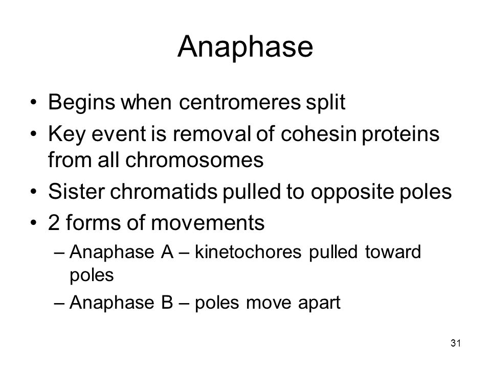 Anaphase Begins when centromeres split
