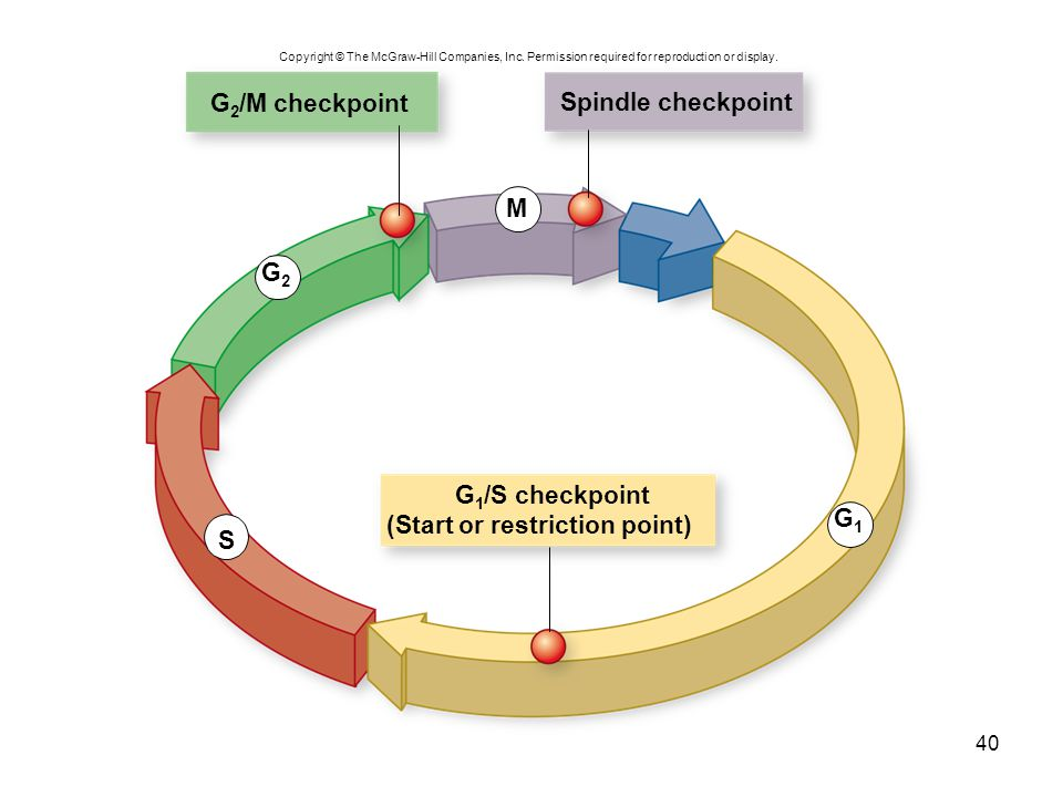 G2/M checkpoint Spindle checkpoint G1/S checkpoint