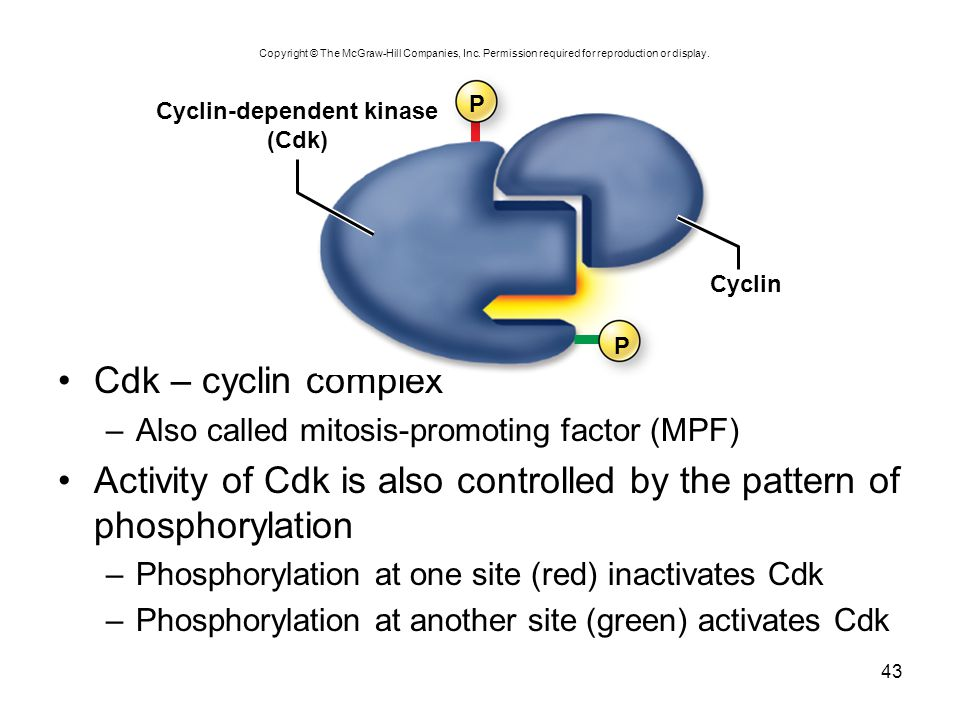 Cyclin-dependent kinase
