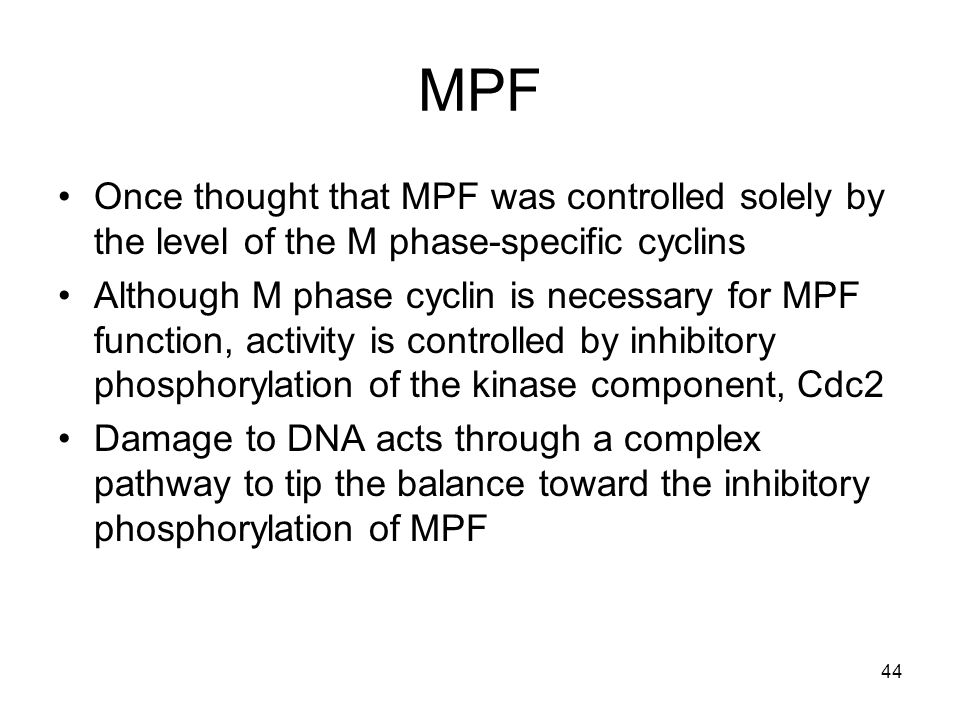 MPF Once thought that MPF was controlled solely by the level of the M phase-specific cyclins.