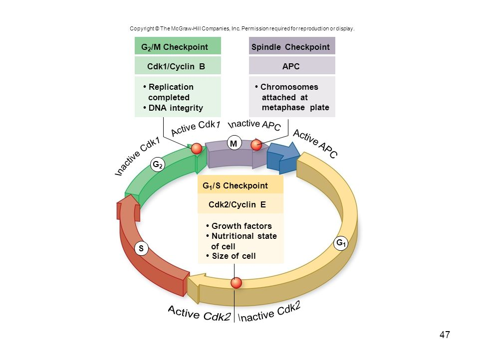 Active Cdk1 Inactive APC Active APC Inactive Cdk1 Inactive Cdk2