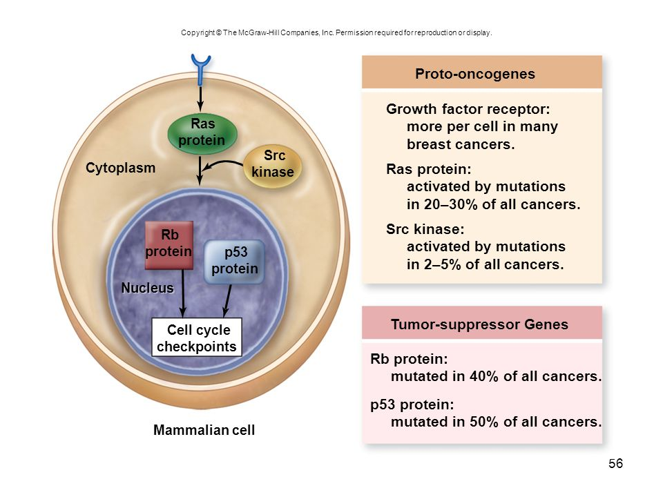 Growth factor receptor: more per cell in many breast cancers.
