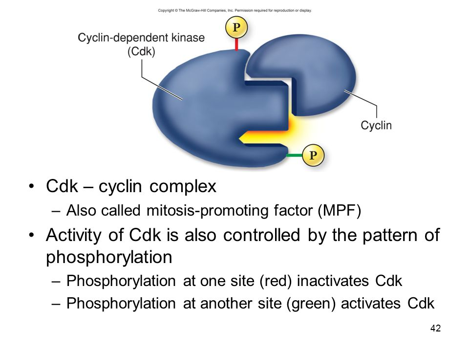 Activity of Cdk is also controlled by the pattern of phosphorylation