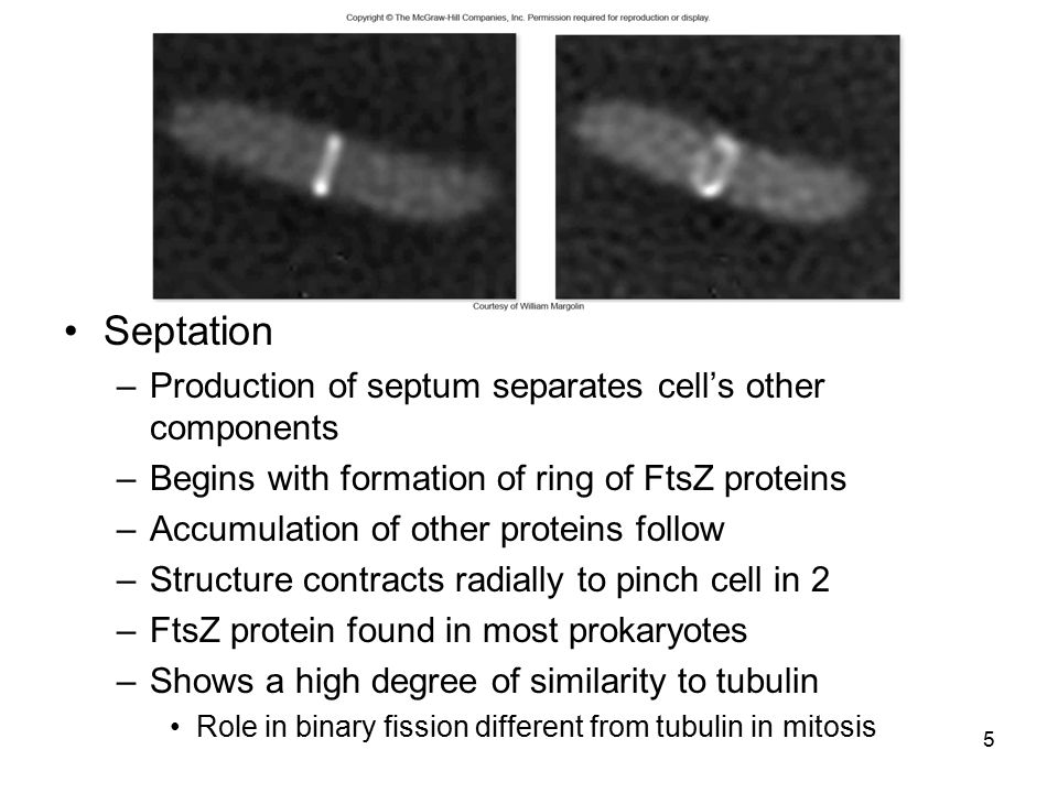 Septation Production of septum separates cell's other components