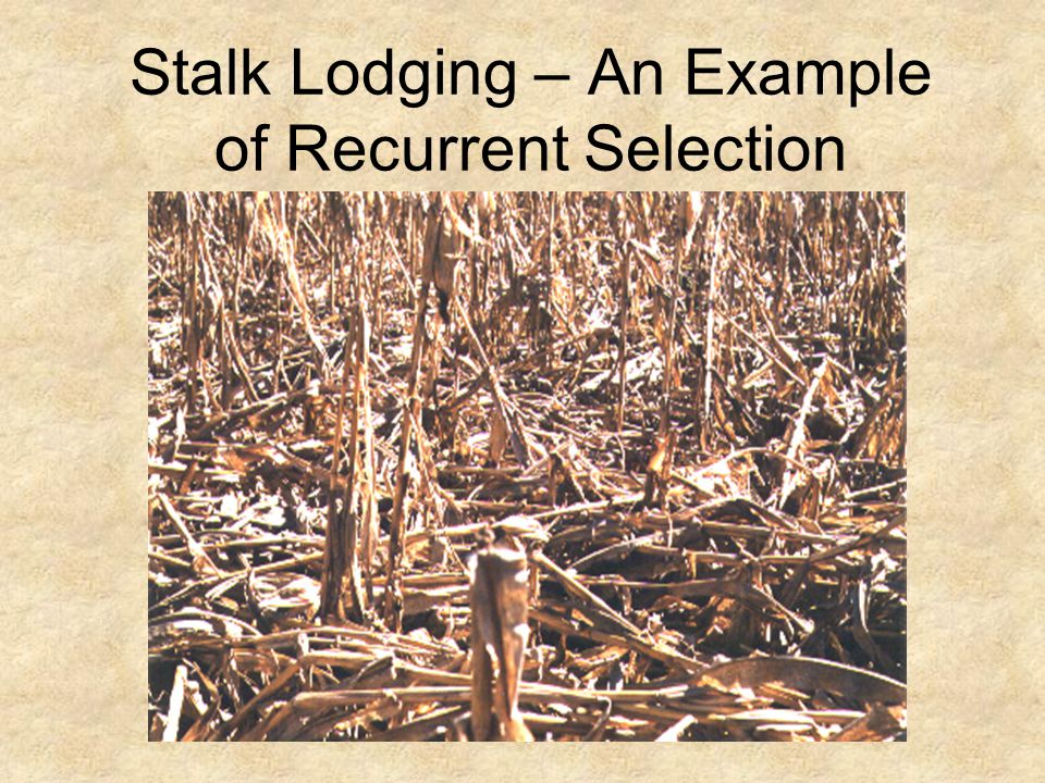 Stalk Lodging – An Example of Recurrent Selection
