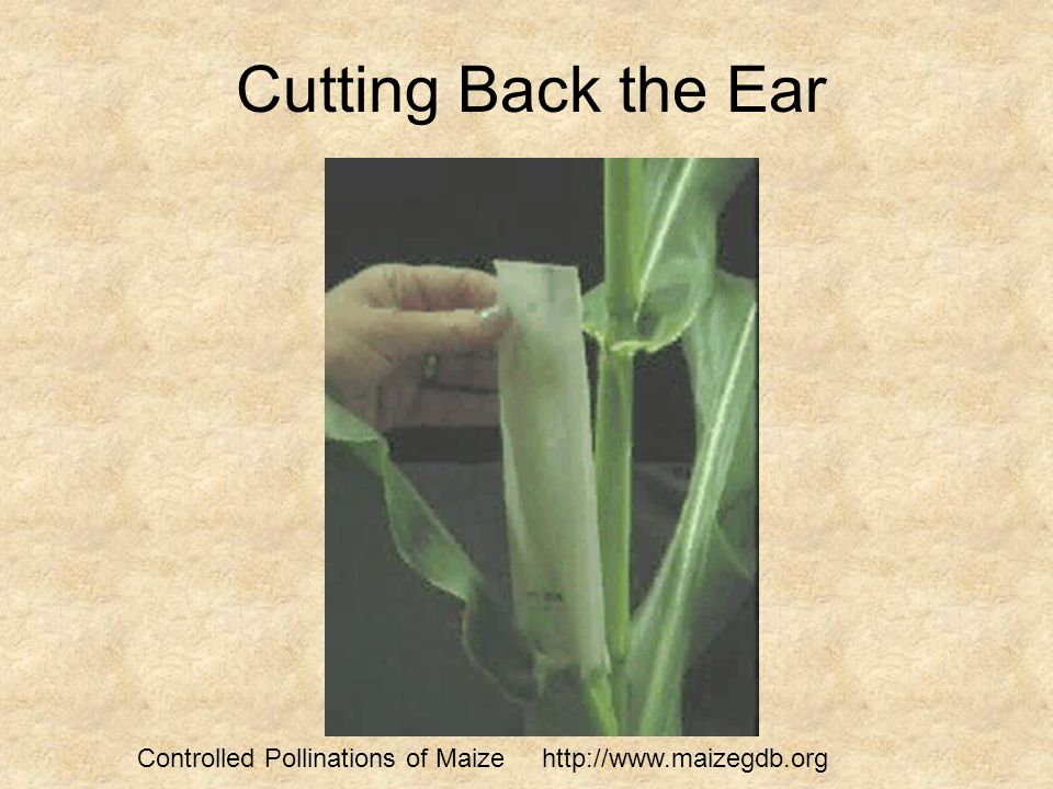Cutting Back the Ear Controlled Pollinations of Maize http://www.maizegdb.org