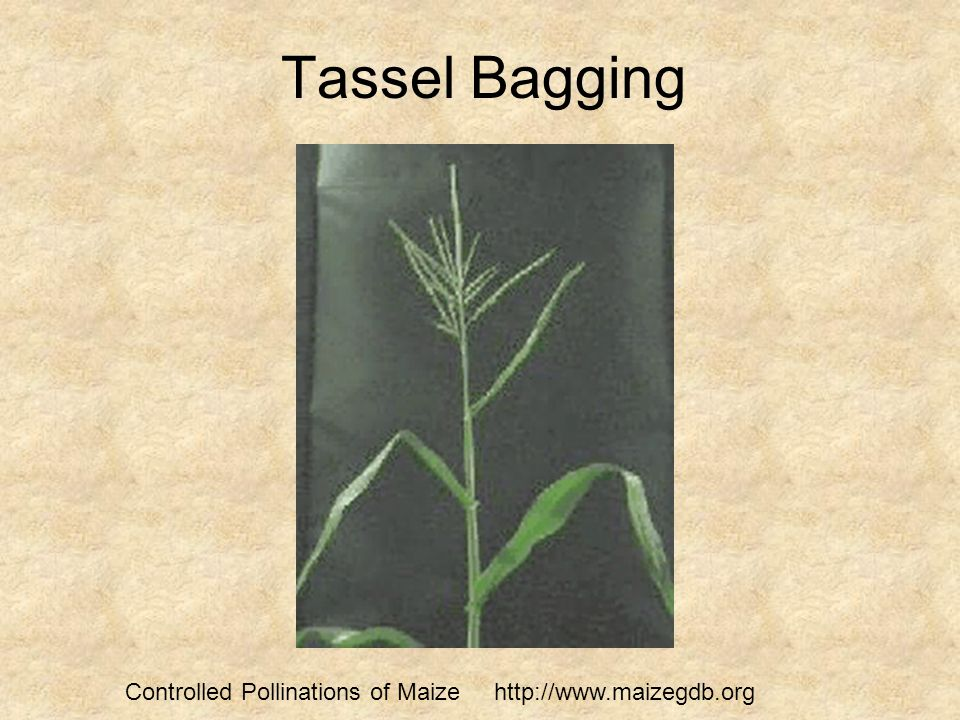 Tassel Bagging Controlled Pollinations of Maize http://www.maizegdb.org