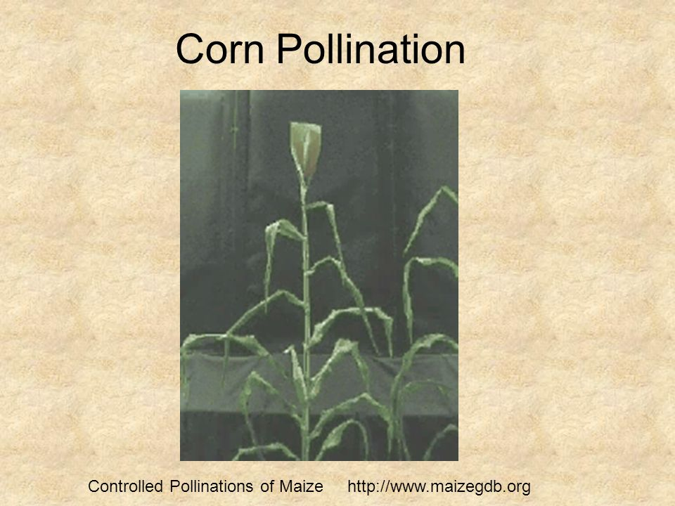 Corn Pollination Controlled Pollinations of Maize http://www.maizegdb.org