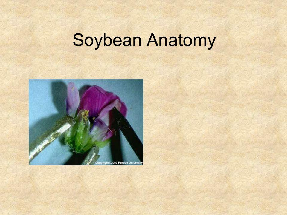 Soybean Anatomy