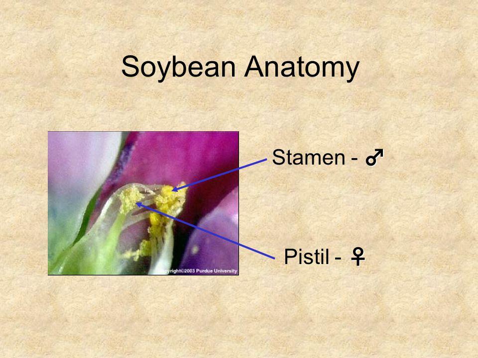 Soybean Anatomy Stamen - ♂ Pistil - ♀
