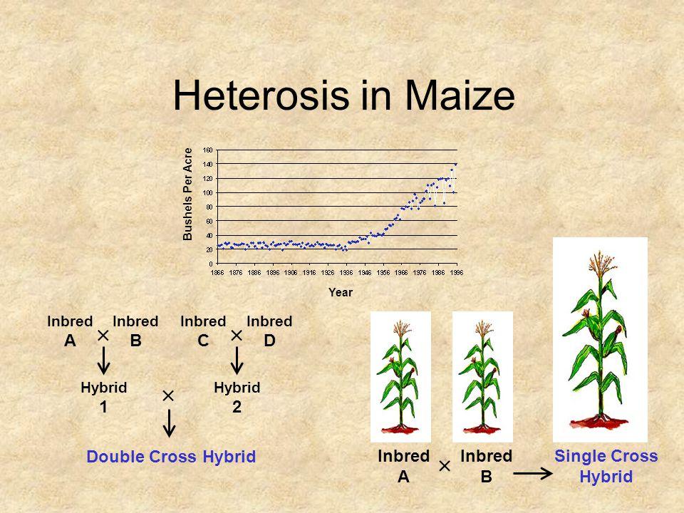 Heterosis in Maize   Single Cross Hybrid Inbred A B