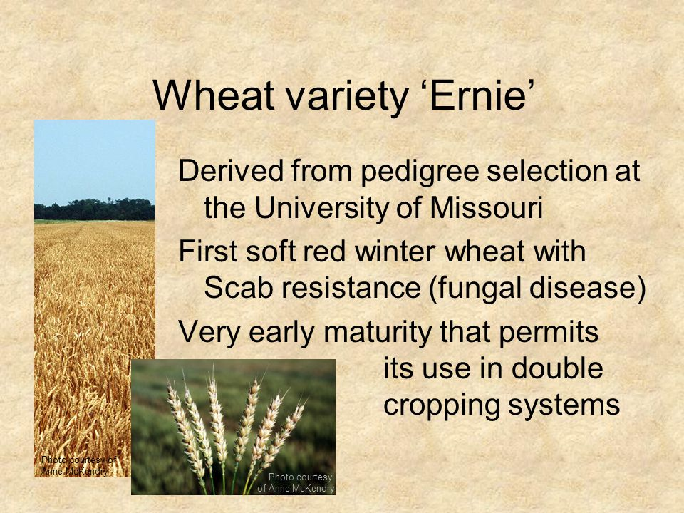 Wheat variety 'Ernie' Photo courtesy of. Anne McKendry. Derived from pedigree selection at the University of Missouri.