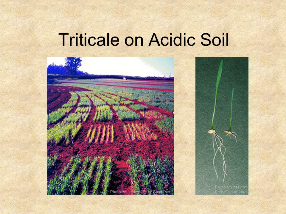 Triticale on Acidic Soil